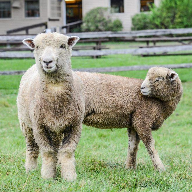 sheeps6-1024x1024